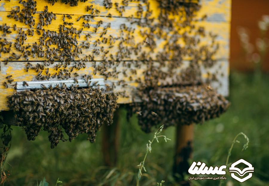 وظیفه زنبورداران در مواجهه با بچه دادن کندو چیست؟