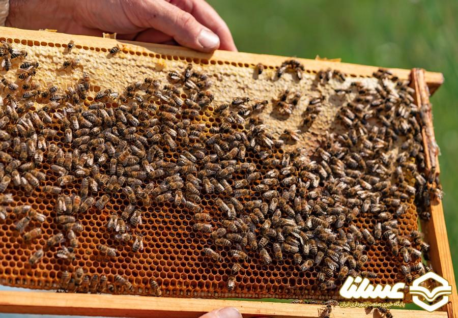 ملکههای قاچاق و بحران جدی در اصلاح نژاد زنبور عسل کشور