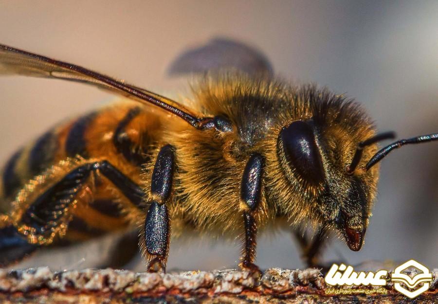 محققان می گویند زهر زنبور عسل، معجزه ای برای درمان سرطان پستان است