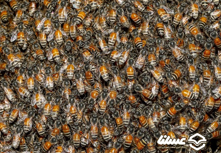 تخریب کندوهای عسل وحشی ممنوع است