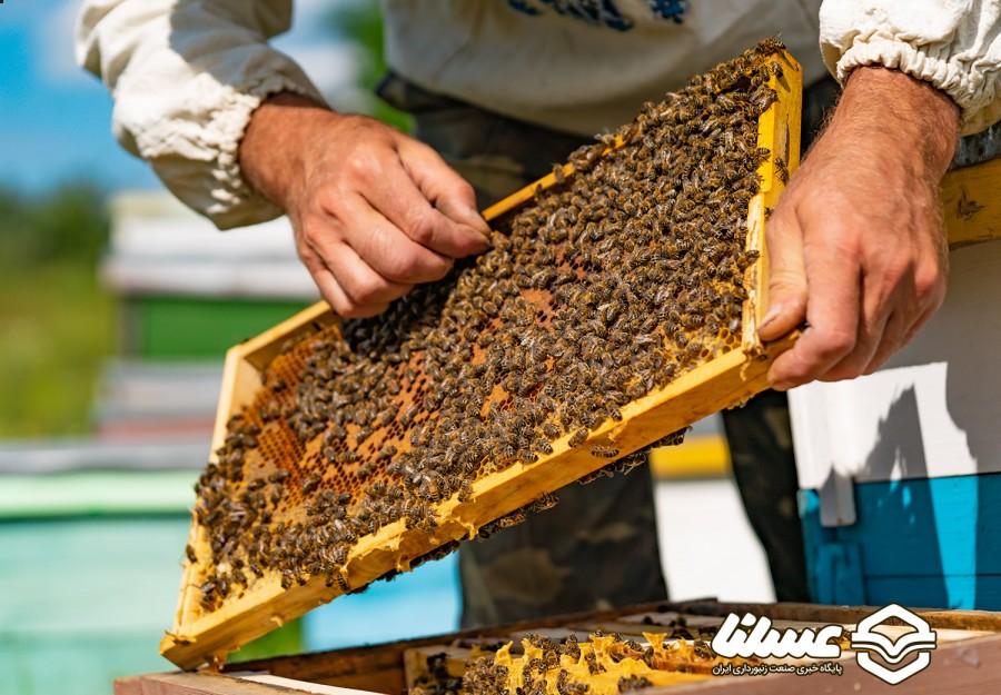 آیا حضور زنبورهای عسل در زمین های عمومی، زنبورهای بومی را تهدید می کند؟