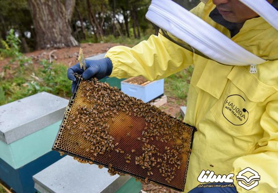 برداشت عسل در نیوزلند با نزدیک شدن به فصل بهار