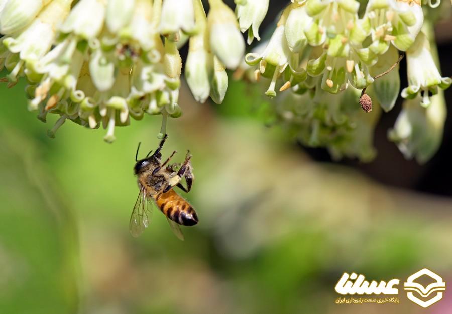 زهر زنبور عسل جایگزین آنتی بیوتیک ها می شود