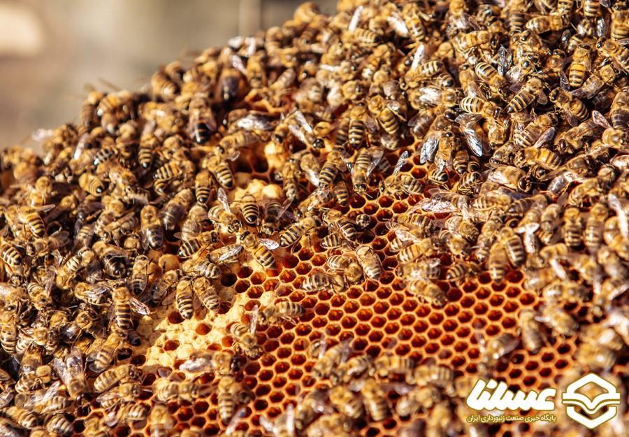 تولید ملکه زنبورعسل در مازندران به 62 هزار فروند رسید