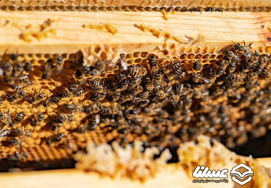 لسانی، پیشکسوت زنبورداری مطرح کرد