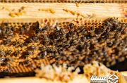 بخش خصوصی و دانشگاهی ظرفیت بالایی برای اصلاح نژاد زنبورعسل دارند/ اصلاح نژاد ملکه ایرانی باید از انحصار خارج شود
