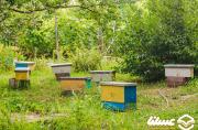جایگاه سومی اصفهان در تولید عسل در کشور و پیشگامی نجف آباد در صنعت زنبورداری