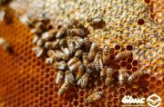 صدای مکالمات زنبورهای ملکه ضبط و ترجمه شد