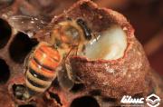 زنبوردار استهبانی ۶۰ کیلوگرم ژل رویال تولید کرد