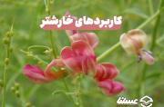 5 کاربرد مهم گیاه خارشتر؛ این گیاه شهدزا چه کاربردی برای انسان ها دارد؟