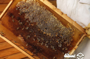 سالانه ۷۰ تن عسل در ملکشاهی برداشت می شود