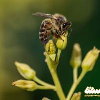 خلاصه مقاله: وضعیت فعلی و آینده اصلاحنژاد زنبورعسل