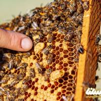 خلاصه مقاله: اصلاح نژاد ملکه زنبورعسل در جمعیت بسته در استان گلستان