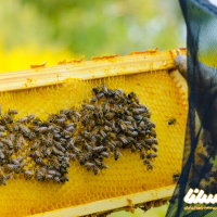 خلاصه مقاله: بررسی تاثیر عصاره الکلی آویشن روی انگل نوزما در زنبورعسل