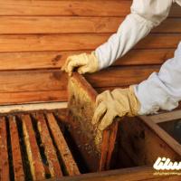 صنعت زنبورداری در سمنان رونق می یابد