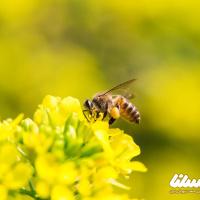 با زهر زنبور عسل، این 7 بیماری را درمان کنید + چرا ادعای درمان کرونا با زهر زنبور می تواند صحیح باشد؟