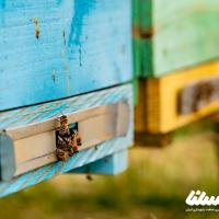 اصلاح نژاد زنبور بومی ایران سبب جلوگیری از وابستگی واردات می شود