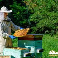 آموزش کاربردی ادغام دو کندو زنبور عسل