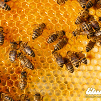 آشنایی با فسفولیپاز A2؛ یکی از مواد موثر در زهر زنبور عسل