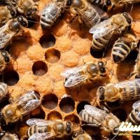 همه چیز در مورد تزریق زهر زنبور عسل