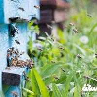 افزایش تولید عسل با اصلاح نژاد و پرورش ملکه زنبور عسل