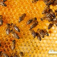 هیالورونیداز در زهر زنبور عسل چیست؟