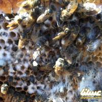 چرا شان زنبور عسل کپک می زند؟