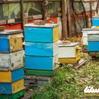 ارزش گرده افشانی زنبور در تولیدات کشاورزی ۹۰ برابر عسل است