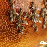 """تلخ و شیرین """"زنبورداری"""" در قطب تولید عسل ایران"""
