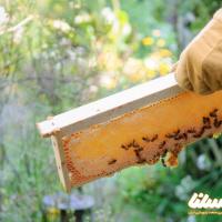 تولید ۶۸۵ گرم زهر زنبور در چهارمحال و بختیاری