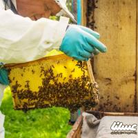 افزایش تلفات کلنیهای زنبور عسل کانادا در سالهای 2019-2020
