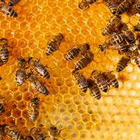 آیا دوست دارید با 4 نژاد مهم زنبور عسل آشنا شوید؟