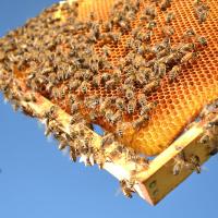 4 بیماری که در کمین زنبور عسل است