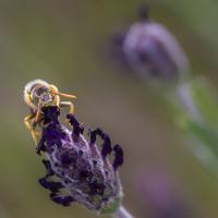 کمی بیشتر در مورد زنبور عسل بدانیم