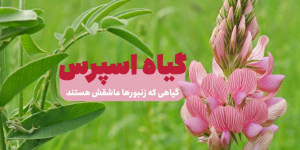 گیاه اسپرس را بشناسیم؛ گیاهی شهدزا و پرخاصیت