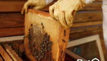 ویدئو: برداشت عسل از زنبورستان های استان کهکیلویه و بویراحمد