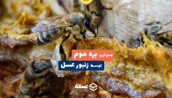 ویدئو: روش جمع آوری بره موم توسط زنبور عسل