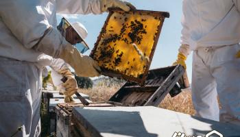 ویدئو: برداشت عسل از زنبورستان های خوی